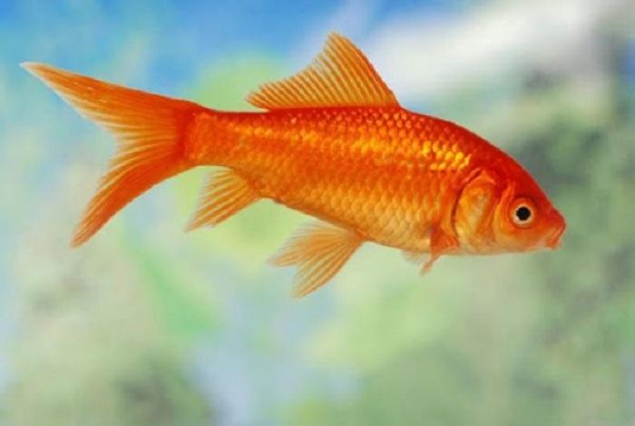 Mơ thấy cá vàng đánh lô đề con gì chắc chắn trúng